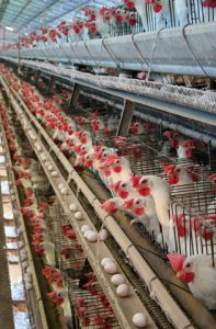Hens in battery cages, animal cruelty, animal rights, animal sentience