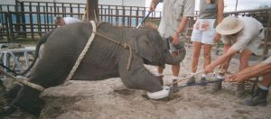Circus Baby Elephant Training - animal cruelty facts, stop animal cruelty, animal rights, animal sentience, animals are sentient, animal exploitation, compassion for animals