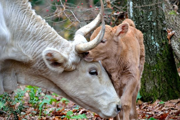 Cow Calf Affection - animal cruelty, animal rights, animal sentience