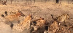 Hyenas Chasing a Lioness - animal cruelty facts, animal sentience, animals are sentient